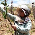 Quảng Ngãi: Dự án trồng cây Sachi-hoàng hậu quả khô tan, tàn lụi cùng tiền tỷ ngân sách